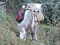 Carrier Horse of Gaddi community in Kasauli , Himachal Pardes, India.JPG