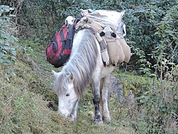 Carrier Horse of Gaddi community in Kasauli , Himachal Pardes, India.JPG