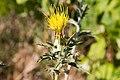 Carthamus lanatus-Carthane laineux-Fleur-20150616.jpg