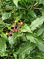 Caryophyllales - Pleuropetalum darwinii - 3.jpg
