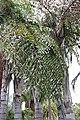 Caryota gigs at Huntington Botanical Gardens.jpg