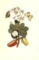 Caschou boom Maria Sibylla Merian 1705 plate XVI.png