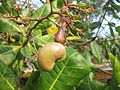 Cashew Nut Tree - കശുമാവ് 06.JPG