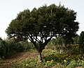 Castanopsis sieboldii (Makino) Hatus, Camellia Hill, Jeju (구실잣밤나무, 제주 카멜리아힐) - panoramio.jpg