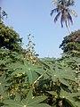 Casterplant 01.jpg