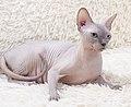 Cat - Sphynx. img 046.jpg