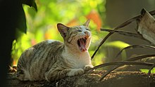 Cat yawning in park.jpg