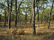Miombo forest - South Luangwa Valley (Zambia)