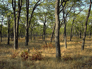 Zambezian and mopane woodlands Tropical and subtropical grasslands, savannas, and shrublands ecoregion of southeastern Africa.