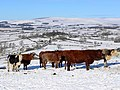 Cattle at West Hills - geograph.org.uk - 1150858.jpg