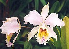 Du orkideo floras, kun neordigitaj, tre pale rozkoloraj petaloj ombrantaj en profund-flavan faringon striita kun lavendo