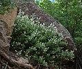 Ceanothus fendleri habit1.jpg