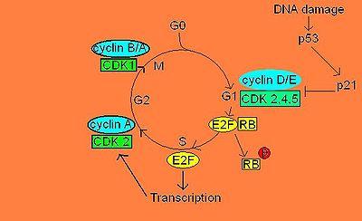 regulation du cycle cellulaire pdf