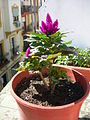 Celosia spicata 3.JPG