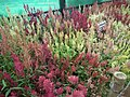 Celosia wool flower from Lalbagh flower show Aug 2013 8468.JPG