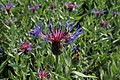 Centaurea montana kz01.jpg