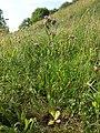 Centaurium erythraea (subsp. erythraea) sl5.jpg