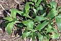 Centranthus ruber 9zz.jpg