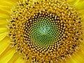 Centre d'une fleur.JPG