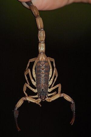 Centruroides - Centruroides limbatus from the Osa Peninsula, Costa Rica