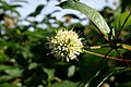 Cephalanthus-occidentalis-flower-head.JPG