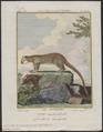 Cercoleptes caudivolvulus - 1700-1880 - Print - Iconographia Zoologica - Special Collections University of Amsterdam - UBA01 IZ22600183.tif