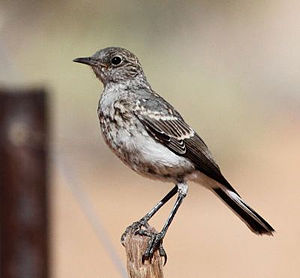 Karoo chat - Juvenile in Northern Cape, South Africa