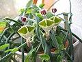 Ceropegia haygarthii-three-flowers.jpg