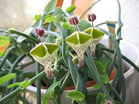 Ceropegia haygarthii-three-flowers.jpg