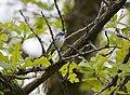 Cerulean Warbler (works) (32272181540).jpg