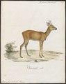 Cervus capreolus - 1818-1842 - Print - Iconographia Zoologica - Special Collections University of Amsterdam - UBA01 IZ21500011.tif