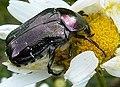 Cetonia lugubris^ (or C.aurata^) Cetoniinae. Scarabaeidae - Flickr - gailhampshire.jpg