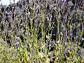 Chã das Caldeiras-Lavandula rotundifolia (2).jpg