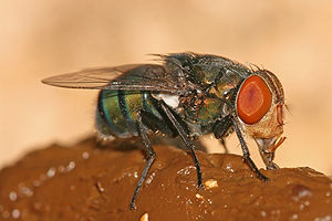 Coprophagia - A female Oriental latrine fly (Chrysomya megacephala) feeds on feces.
