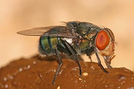 parasitic flies of domestic animals wikipedia rh en wikipedia org