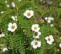 Chamaebatia australis 5.jpg