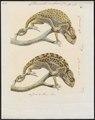 Chamaeleo vulgaris - 1700-1880 - Print - Iconographia Zoologica - Special Collections University of Amsterdam - UBA01 IZ12300011.tif