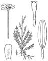Chamaemelum nobile-linedrawing.png