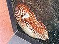 Chambered Nautilus2.JPG