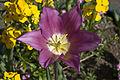 Chartwell flower (6250618213).jpg