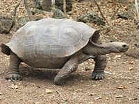 A tortoise of the chathamensis subspecies. It has a slightly saddle shaped shell.