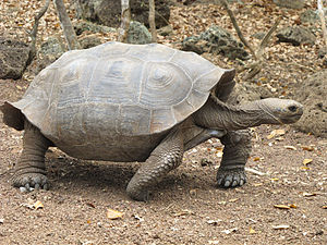 Galápagos tortoise - Intermediate (C. chathamensis)