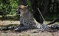 CheetahSDSafariParkJul10.jpg