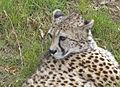 Cheetah (6367940285).jpg