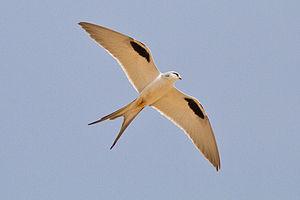 Scissor-tailed kite - Flying in Far North Region, Cameroon