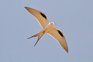 Scissor-tailed kite species of bird