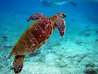 Flipper (anatomy) - This green turtle is about to break the surface for air at Kona, Hawaii.