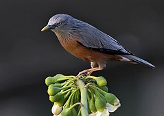 Chestnut-tailed Starling I IMG 2508.jpg