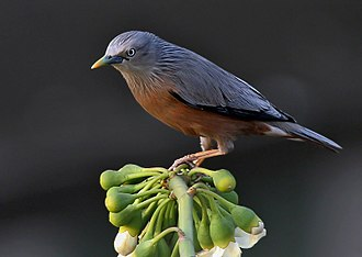 Starling - Chestnut-tailed starling is a partial migrant over much of the east of its range, but its movements are poorly understood