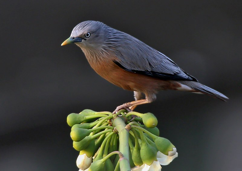 Chestnut-tailed Starling I IMG 2508